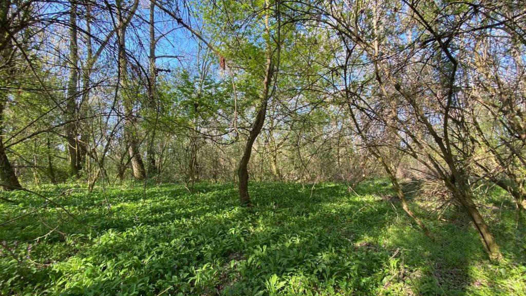 medvedí cesnak v lese